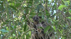 Lumholtz Tree Kangaroo sits in tree eating leaves close up Stock Footage