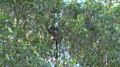 Lumholtz Tree Kangaroo sits high up in tree in the afternoon eating leaves Stock Footage