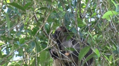 Lumholtz Tree Kangaroo sits in tree with joey eating leaves close up Stock Footage