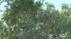 Lumholtz Tree Kangaroo sits in tree with joey eating leaves zooming in Stock Footage