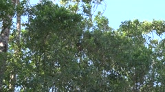 Lumholtz Tree Kangaroo sits in tree with joey eating leaves zooming in Stock Footage