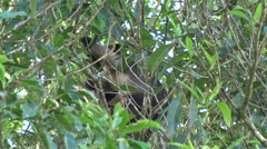 Lumholtz Tree Kangaroo sits in tree with joey eating leaves zooming out Stock Footage