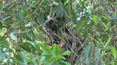 Lumholtz Tree Kangaroo sits in tree with joey eating leaves Stock Footage