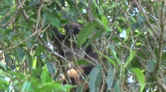 Lumholtz Tree Kangaroo sits in tree with mouth full of leaves chewing Stock Footage