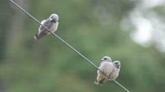 Three ashy woodswallow birds rest on the electrical wire Stock Footage