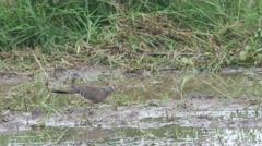 Spotted dove seeking food in the paddy field Stock Footage