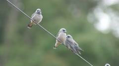 Ashy woodswallow birds come closer each other Stock Footage