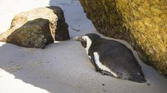 Penguin Nap - Boulders Beach, South Africa Stock Photos