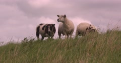 Three sheep graze on a dike and bleat - low angle Stock Footage