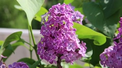 Syringa flower portrait Stock Footage