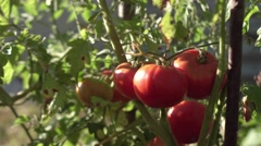 Gentle woman hands gather ripe red tomatoes in garden, close-up Stock Footage