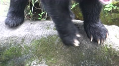 4k Claws of adult Formosa Black Bear walking on the rock at hot day summer-Dan Stock Footage