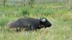 Water buffalo chewing grass in a meadow Stock Footage
