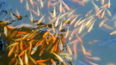 Thailand Lucky Fish in Pond Stock Footage