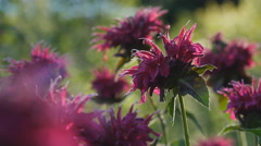 Macro shot of fuchsia coloured wild Bergamot flower. Stock Footage