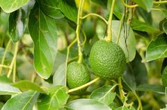 Avocados Growing on Tree Stock Photos