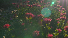 Wild Bergamot flowers in the sun with lensflare. Stock Footage