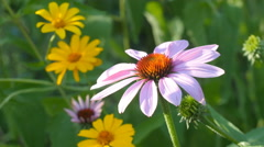 Echinacea flower and daisies gowing in a garden. Summer in Ontario, Canada. Stock Footage