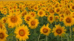 Sunflowers swaying in the light breeze on a sunny day Stock Footage