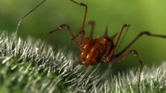 Giant harvestman with a large set of pedipalps  Stock Footage