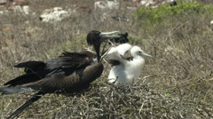 Female frigatebird and chick on a nest at isla nth seymour in the galapagos Stock Footage