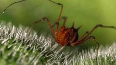 Giant harvestman deploying its chelicerae (pincers) Stock Footage