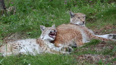 Eurasian lynx young and adult laying on grass field relaxed young one yawns Stock Footage