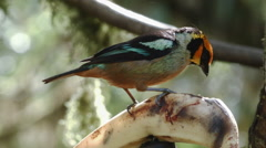 Flame-faced tanager (Tangara parzudakii) feeding on a banana  Stock Footage