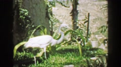 1952: White crane bird walking dense tropical green garden landscape. ACAPULCO, Stock Footage