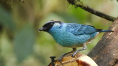 Golden-naped Tanager (Tangara ruficervix) feeding on a banana Stock Footage