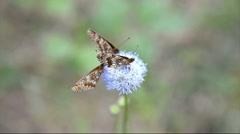 Three butterflies sitting on a blue flower Stock Footage