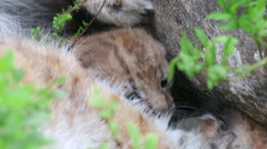 Eurasian lynx cubs 4 weeks old sleeping hideing behind mother lynx body Stock Footage