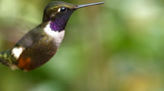Purple-throated woodstar (Calliphlox mitchellii) hummingbird.  Stock Footage