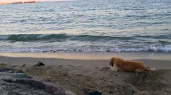 Two Dogs on the Beach Stock Footage