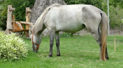 Gray horse is grazing grass Stock Footage