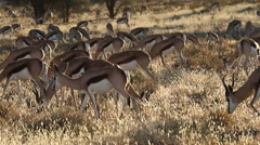 Springbok antelope herd in late afternoon light, Kalahari desert, South Africa Stock Footage