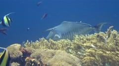 Humpback unicornfish (Naso brachycentron) Stock Footage