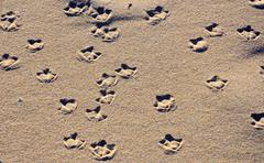 Seagull webbed foot prints on sand Stock Photos