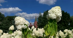The towers of the Kremlin through a flowering plant, blooming hydrangea Stock Footage