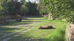 Bos Taurus In the Wild Stock Footage