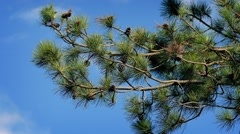 Pine Branches On Windy Summer Day Stock Footage