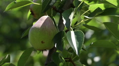 A Branch of Pears in The Wind Stock Footage