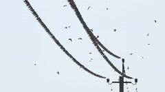 Swallows Fly and Sit on electric Wires Stock Footage