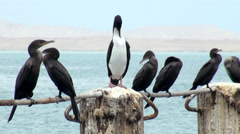 Cormorants in Cruise Port General San Martin Pisco - Peru Stock Footage