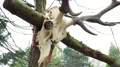 Animal´s  skull with antlers hangs on branch Stock Footage