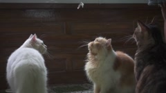 Cats Playing on the Floor with a Paper Bow Tied on a String. Slow Motion Stock Footage