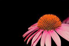 Flower of Echinacea Stock Photos
