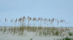 Spikelets in the sands of summer Stock Footage