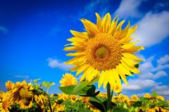 Nice sunflowers on farming meadow Stock Photos