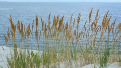 Spikelets near the river in the sands Stock Footage